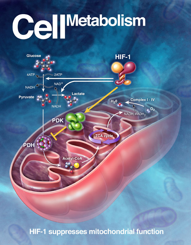 cell-metabolism.jpg
